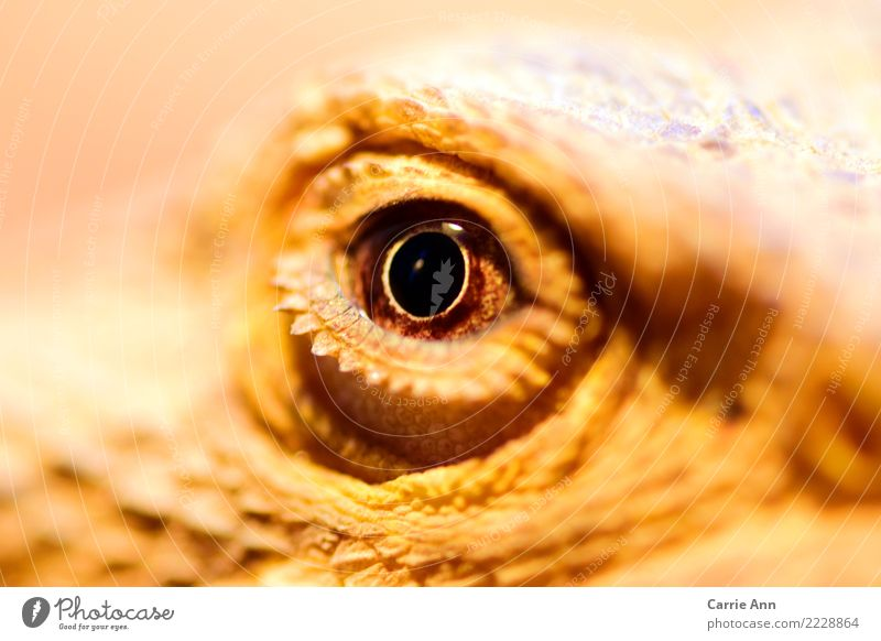 In the view of the little dragon Nature Animal Wild animal Animal face Zoo Barbed agame 1 Observe Communicate Looking Exotic Brown Attentive Watchfulness