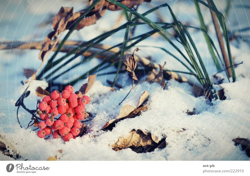rowan on the snow Nature Winter Cold Snow Grass Cool (slang) Plant