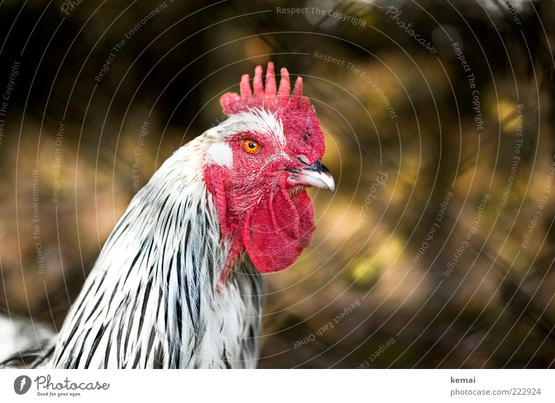 Nature White Red Eyes Animal Animal face Beak Barn fowl Rural Farm animal Rooster Human being Blur Plumed Country life Wire netting fence