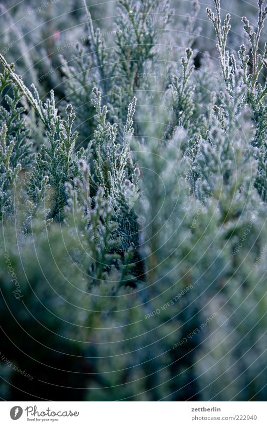 Nature Plant Winter Leaf Bushes Dew Hoar frost November December Hedge Brandenburg Foliage plant Twigs and branches Water Conifer Box tree