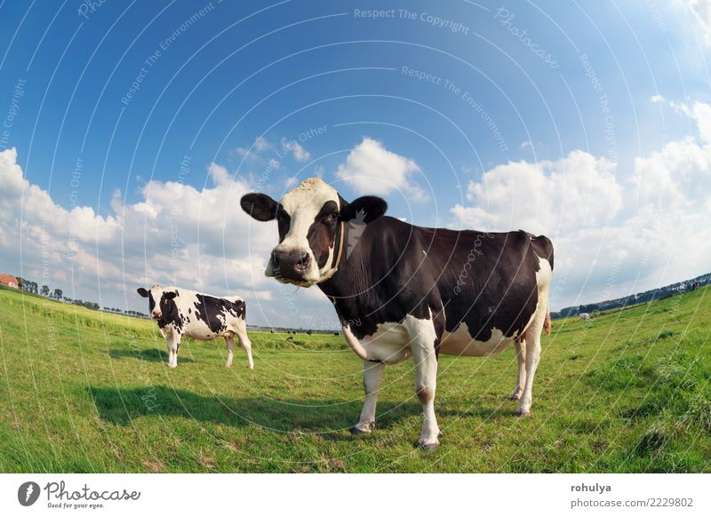 two cows on green pasture on sunny day Summer Nature Landscape Sky Clouds Beautiful weather Grass Meadow Farm animal Cow Bright Cute Blue Green Cattle fish eye