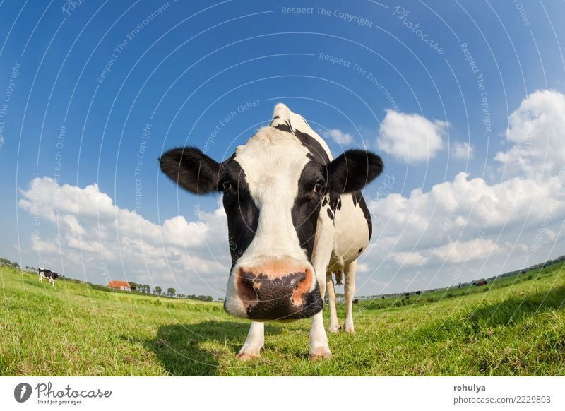 funny close up cow on green grass pasture outdoors Summer Nature Landscape Animal Sky Clouds Beautiful weather Grass Meadow Farm animal Cow To feed Blue Green