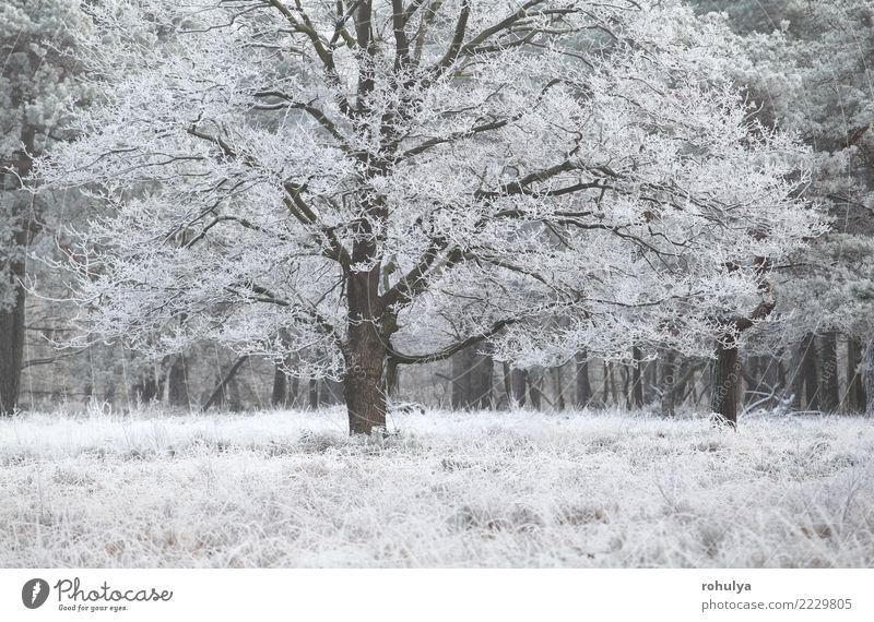 oak tree covered with frost in winter Winter Snow Nature Landscape Weather Ice Frost Tree Grass Meadow Forest White Mature cold Frozen Seasons seasonal
