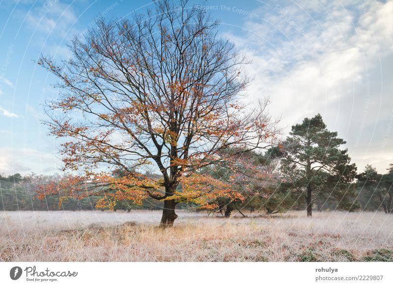 autumn beech tree in morning frost Winter Nature Landscape Sky Autumn Weather Beautiful weather Ice Frost Snow Tree Grass Meadow Wild Blue Yellow Serene Beech