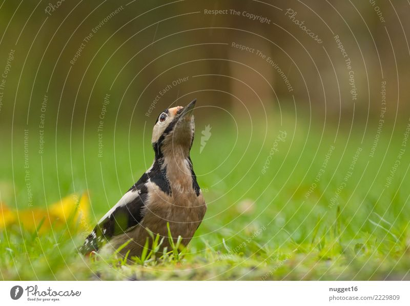 great spotted woodpecker Environment Nature Animal Spring Summer Autumn Beautiful weather Plant Grass Garden Park Meadow Forest Wild animal Bird Animal face