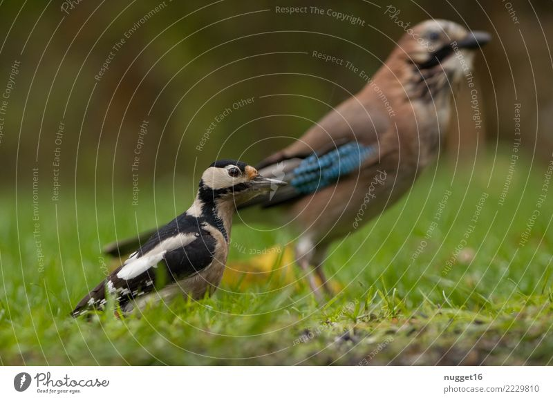 Great Spotted Woodpecker and Jay Environment Nature Animal Spring Summer Autumn Beautiful weather Plant Grass Garden Park Meadow Forest Wild animal Bird