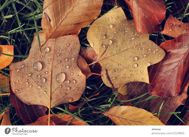 autumn pearls Environment Nature Drops of water Autumn Grass Leaf Autumn leaves Autumnal colours Wet Limp Park Pearl Trickle Lie Near Brown Serene Sadness Grief
