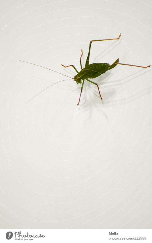 Sorry, I'm just on my way out. Animal House cricket Locust Insect 1 Crouch Sit Green White Nature Environment Feeler Ankle bone Colour photo Deserted