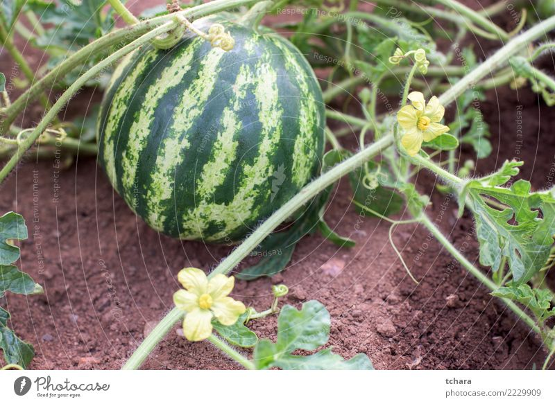 Watermelon plant Nature Plant Summer Colour Green Leaf Eating Lifestyle Blossom Natural Garden Fruit Growth Fresh Ground Vegetable