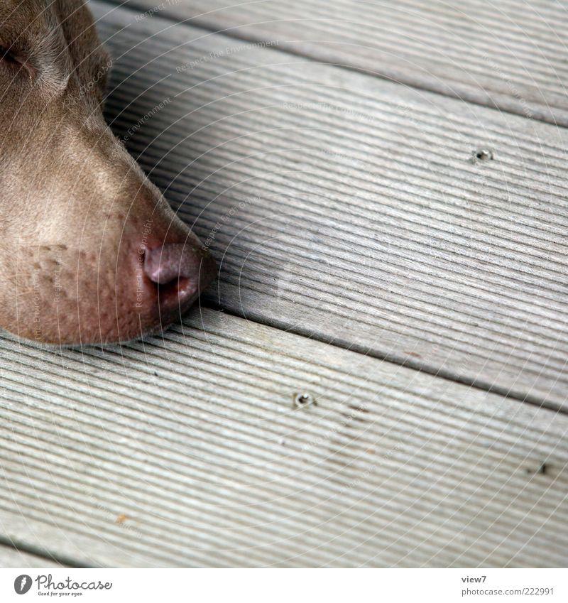 palpable nose Animal Pet Dog Animal face 1 Wood Line Stripe Breathe Think Lie Sleep Dream Wait Esthetic Authentic Simple Cold Near Positive Cliche Gray Calm