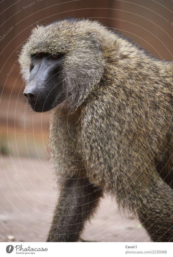 The Baboon Vacation & Travel Tourism Trip Adventure Safari Summer Summer vacation Sun Masculine Face Nature Animal Wild animal Monkeys 1 Animal tracks Esthetic