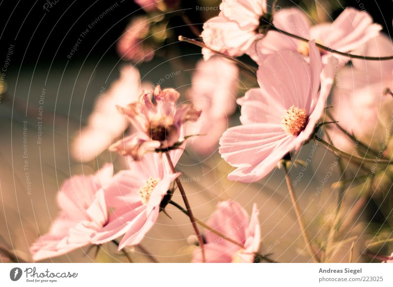 Nature Beautiful Plant Flower Autumn Environment Blossom Bright Pink Fresh Esthetic Change Transience Kitsch Dry Blossoming
