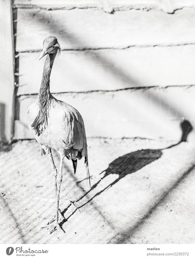 shadow play Animal Bird 1 Stand Black White Shadow play Wooden board Crane Black & white photo Exterior shot Close-up Structures and shapes Deserted