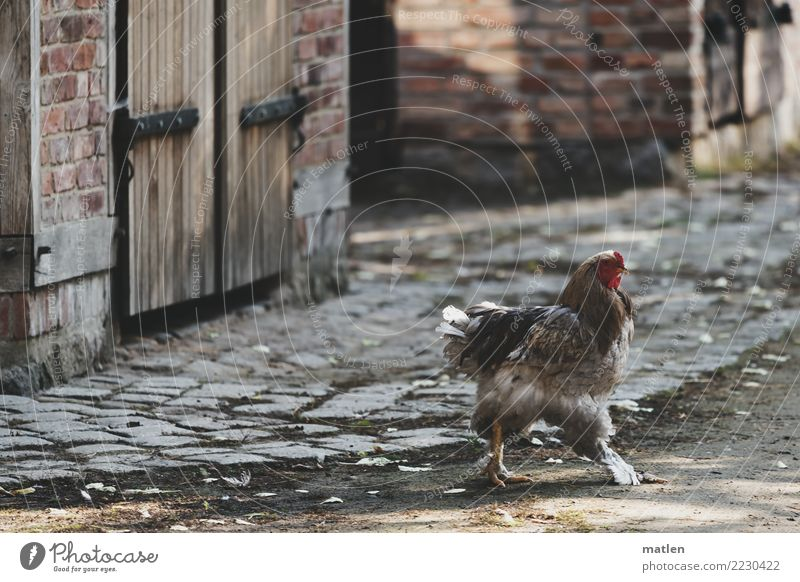 Quick, over in slippers. Village House (Residential Structure) Wall (barrier) Wall (building) Street Pet 1 Animal Running Speed Brown Gray Red Barn fowl