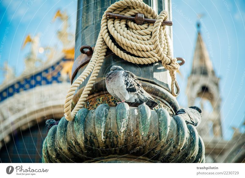 dove Venice Italy Pigeon Animal Town Vacation & Travel Cruise Adriatic Sea Rope Focal point