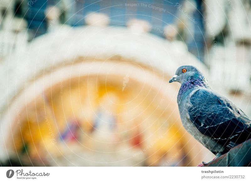 Pigeon at St. Mark's Square Vacation & Travel Venice Italy Europe Animal Farm animal Wild animal 1 2017 St. Marks Square Colour photo Day Animal portrait
