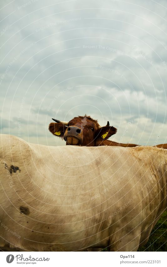 Looking for me? Environment Nature Landscape Air Sky Clouds Storm clouds Bad weather Meadow Animal Farm animal Cow 2 Group of animals Herd Pair of animals