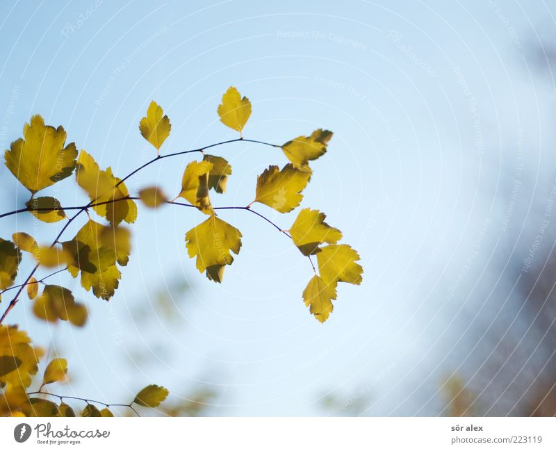 autumn photo Nature Sky Cloudless sky Autumn Leaf Branch Faded Blue Green Hope Longing Autumn leaves Autumnal Delicate October Suspended Change Transience
