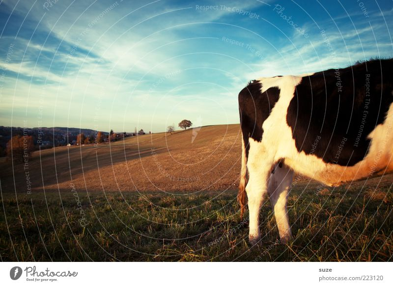 Sky Nature Animal Far-off places Meadow Horizon Field Authentic Stand Beautiful weather Pasture Hind quarters Cow Animalistic Rural Organic farming