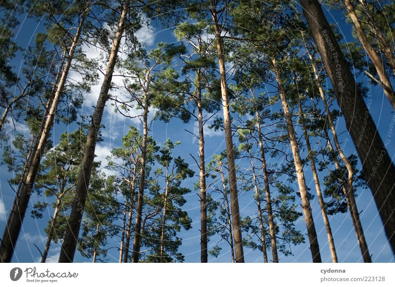 pine forest Environment Nature Sky Clouds Tree Forest Esthetic Uniqueness Relaxation Freedom Power Life Sustainability Calm Beautiful Transience Growth Value