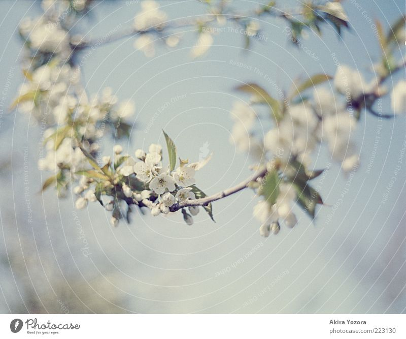 flower chain Nature Plant Sky Spring Beautiful weather Tree Leaf Blossom Cherry tree Cherry blossom Blossoming Hang Growth Esthetic Bright Blue Green White