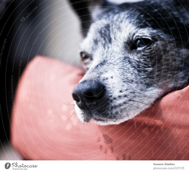 I'll be gone in a minute. Dog Animal face Sleep Doze Snout Old Paw Dog's head Multicoloured Close-up Copy Space left Shallow depth of field Central perspective