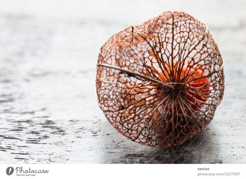 White Autumn Wood Brown Orange Decoration Embellish Seed head Graceful To dry up Physalis Sepal Chinese lantern flower