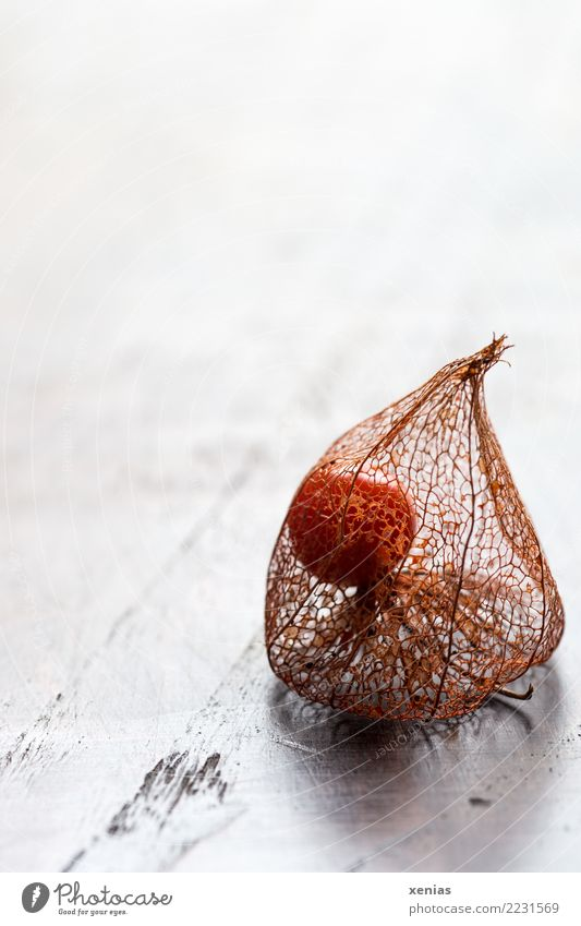 Physalis with fruit husk Autumn Chinese lantern flower Seed head Wood Bright Dry Brown Orange White Delicate Enclosed Solanaceae Colour photo Studio shot