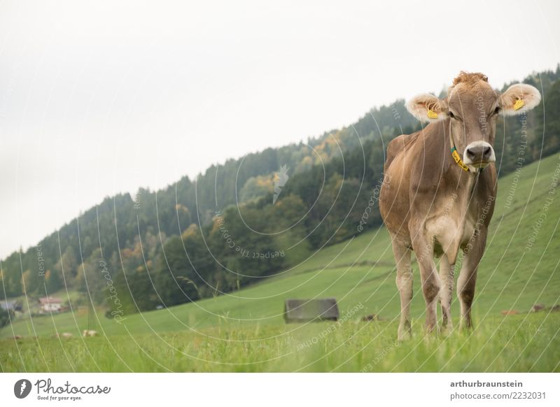 Cow standing in the pasture Food Meat Nutrition Organic produce Healthy Eating Vacation & Travel Tourism Farmer Economy Agriculture Forestry Environment Nature