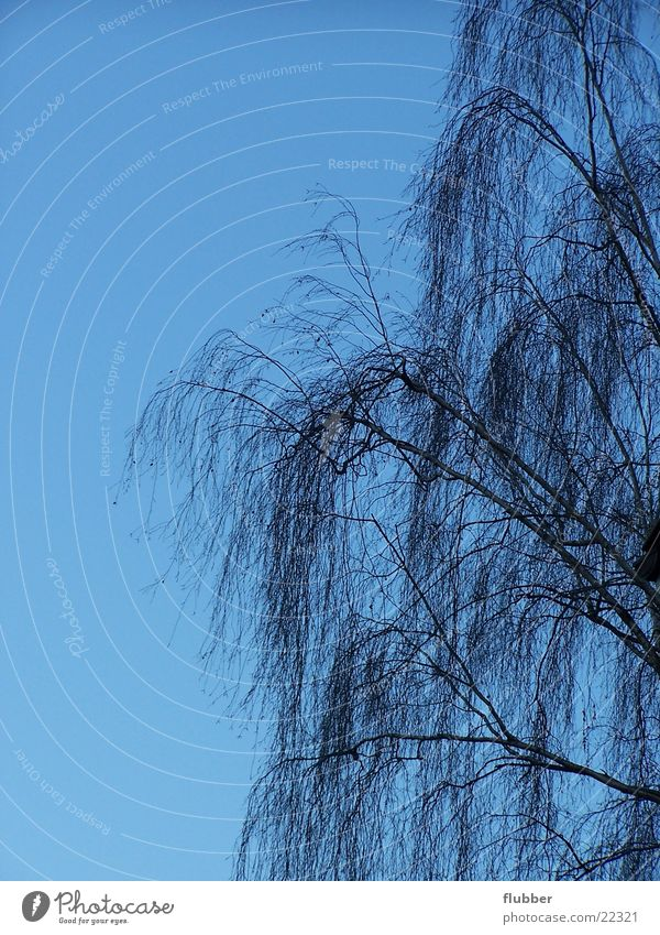weeping willow Weeping willow Tree Winter Branch Treetop Sky Blue