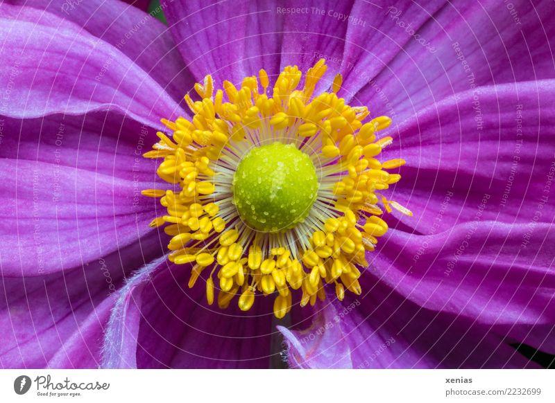 pink, yellow, green, anemone Animal Summer Autumn Flower Blossom Anemone Blossoming Beautiful Soft Yellow Green Pink Crowfoot plants Chinese Anemone Stamen
