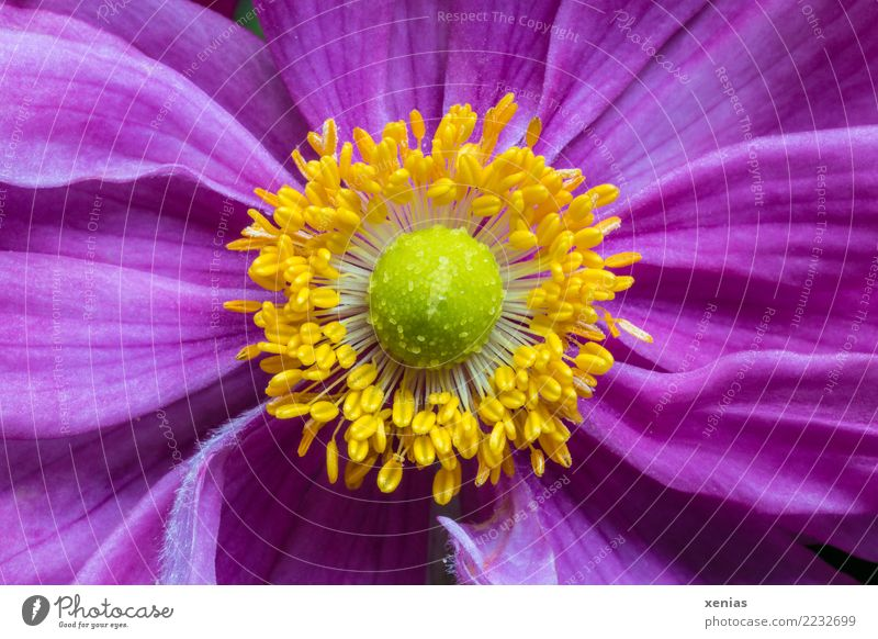 Summer Beautiful Green Flower Animal Yellow Autumn Blossom Pink Blossoming Soft Blossom leave Stamen Anemone Crowfoot plants Chinese Anemone