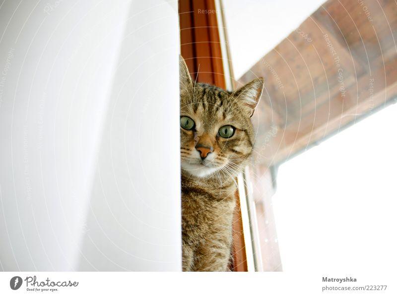 Beautiful Window Cat Ear Curiosity Pelt Drape Pet Whisker Goodness Window frame Tiger skin pattern