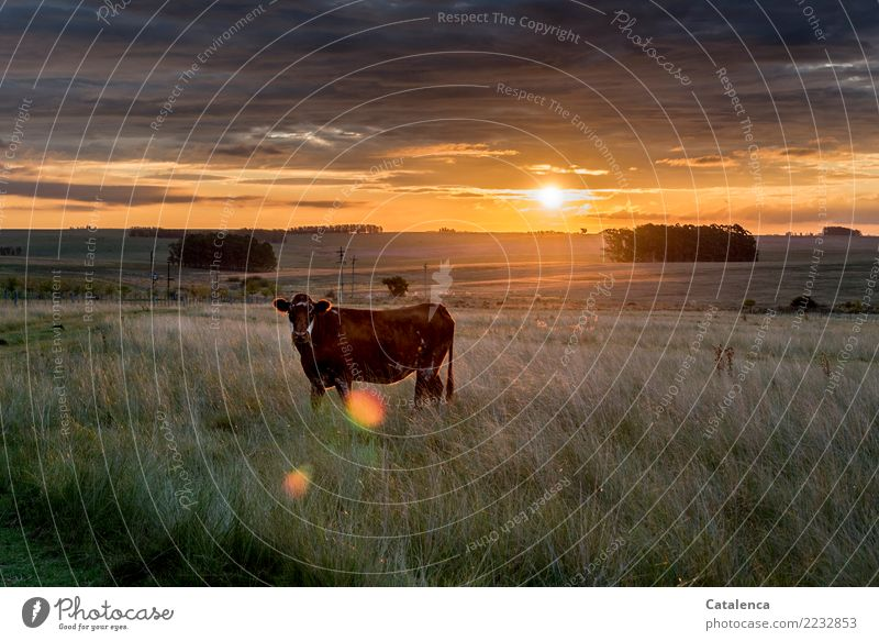 Beef in the evening sun Landscape Plant Animal Sky Storm clouds Horizon Climate change Tree Grass Eucalyptus tree Meadow Field Pampa Steppe Pet Farm animal Cow