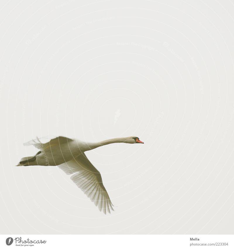 take a plane Environment Nature Animal Air Sky Bird Swan 1 Flying Esthetic Free Bright Natural Gray White Effort Movement Elegant Freedom Colour photo