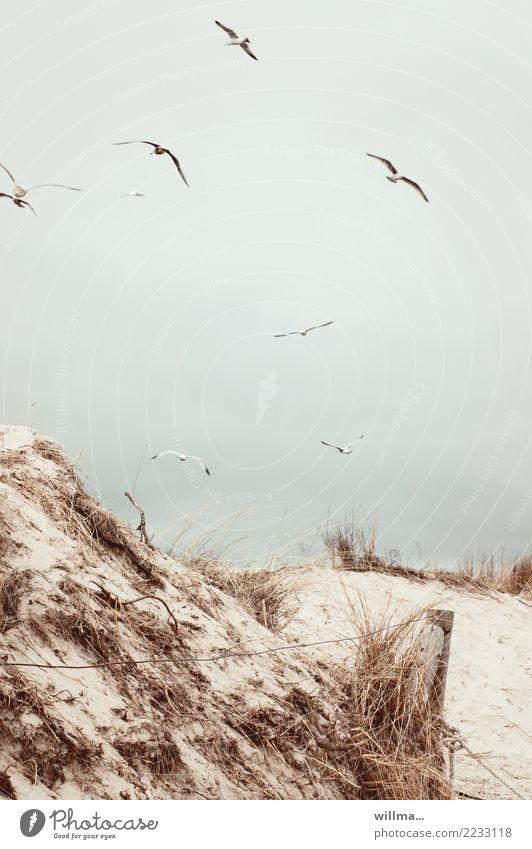 Gulls over the dunes on the Baltic Sea beach Sand Coast Beach Beach dune Marram grass Usedom Seagull Fence post gulls