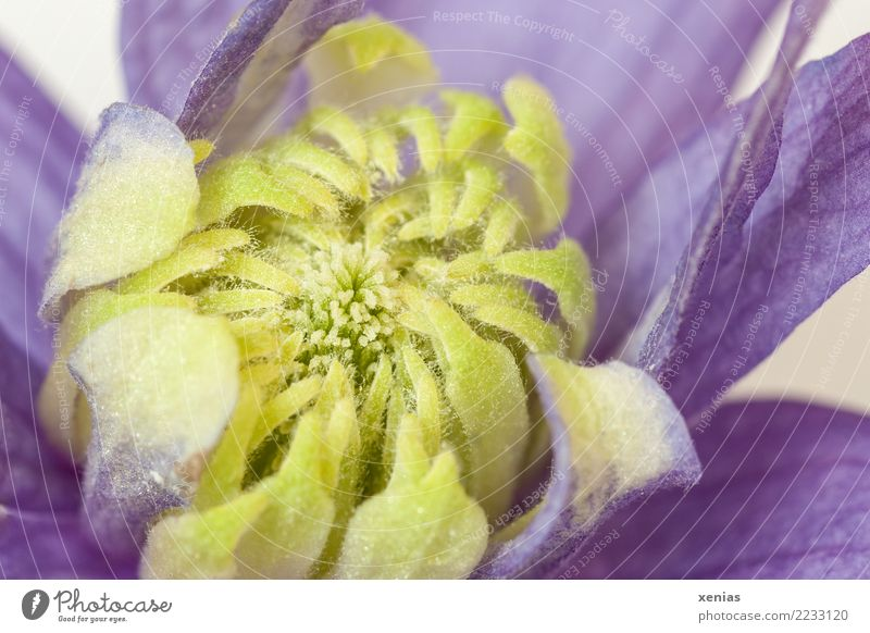 Clematis flower, yellow and violet Animal Spring Summer Flower Blossom Creeper dust bag Blossom leave Garden Park Blossoming Yellow Violet Delicate Climbing