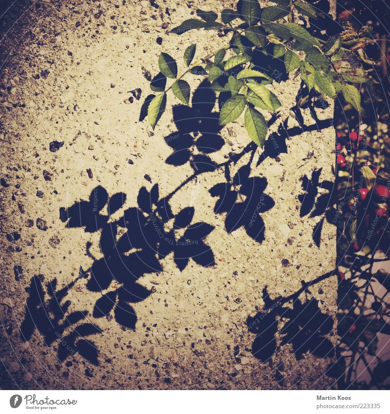 Tea variety and shade Fruit Nature Plant Bushes Rose Dark Shadow Leaf Stone wall Subdued colour Exterior shot Lomography Polaroid Pattern Structures and shapes