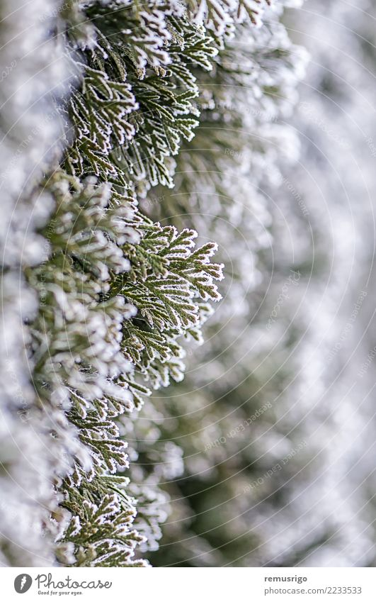 Frost on tree branches Nature Plant Green White Tree Leaf Winter Forest Natural Snow Park Weather Seasons City Romania
