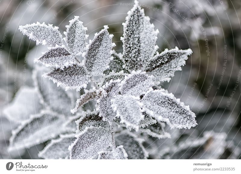 Frost on rose leaves Nature Plant Green White Leaf Winter Forest Natural Snow Garden Park Weather Seasons City Hoar frost