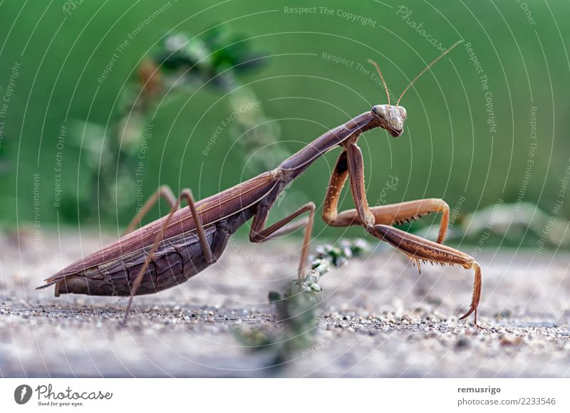 Closeup of a Praying Mantis Green Animal Wild Stand Living thing Insect Pests Bug Carnivore Romania