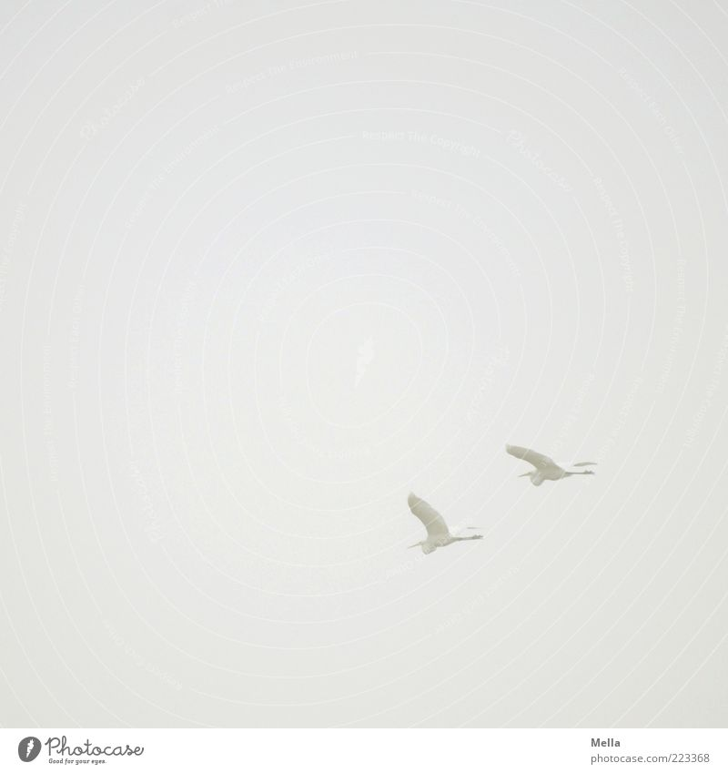 voyage Air Sky Fog Animal Bird Heron Great egret 2 Flying Free Together Natural Gray White Elegant Freedom Nature Environment Pair of animals In pairs