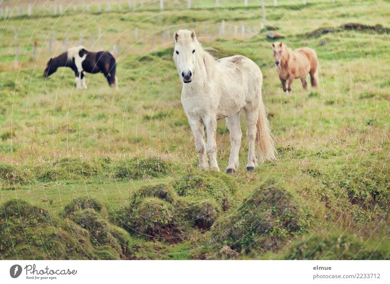 3 Icelanders Pasture Horse Iceland Pony Gray (horse) Group of animals Communicate Looking Stand Esthetic Elegant Free Together Happy White