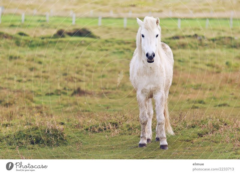 moldy icelander Pasture Horse Icelander Iceland Pony Pelt Coat color Gray (horse) small horse Observe Communicate Stand White Happy Contentment