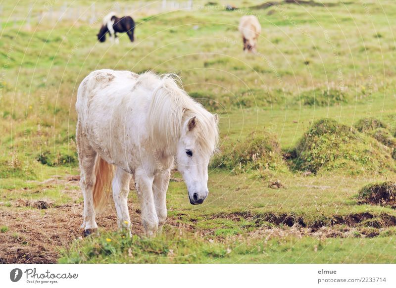 Icelanders Horse Iceland Pony Gray (horse) Coat color Pelt To feed Going Elegant Free Beautiful White Happy Contentment Joie de vivre (Vitality) Love of animals
