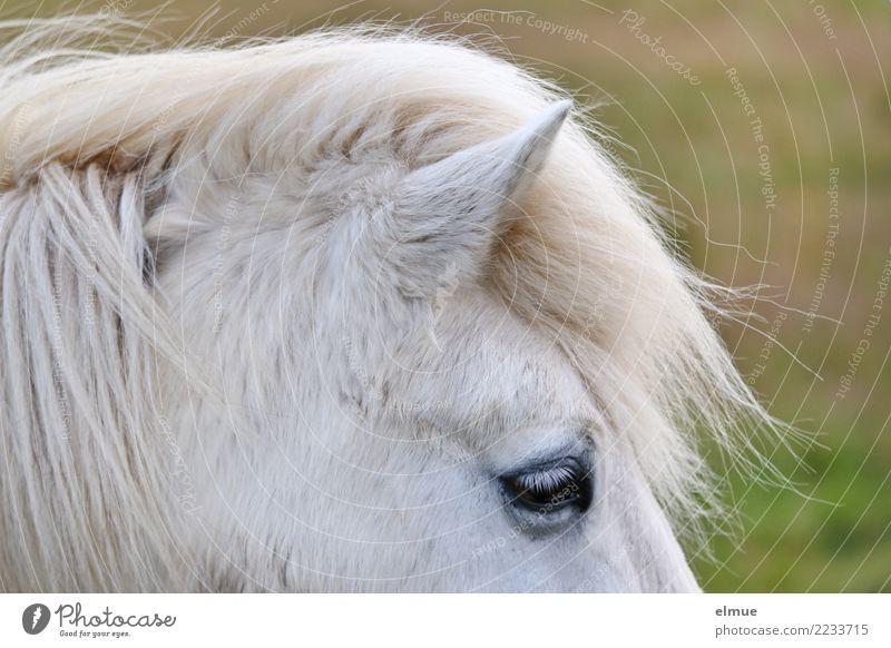 1 PS, attentive Horse Iceland Pony Gray (horse) Ear Pelt Coat color Eyes Mane Stand Esthetic Free Beautiful Near Natural White Happy Joie de vivre (Vitality)
