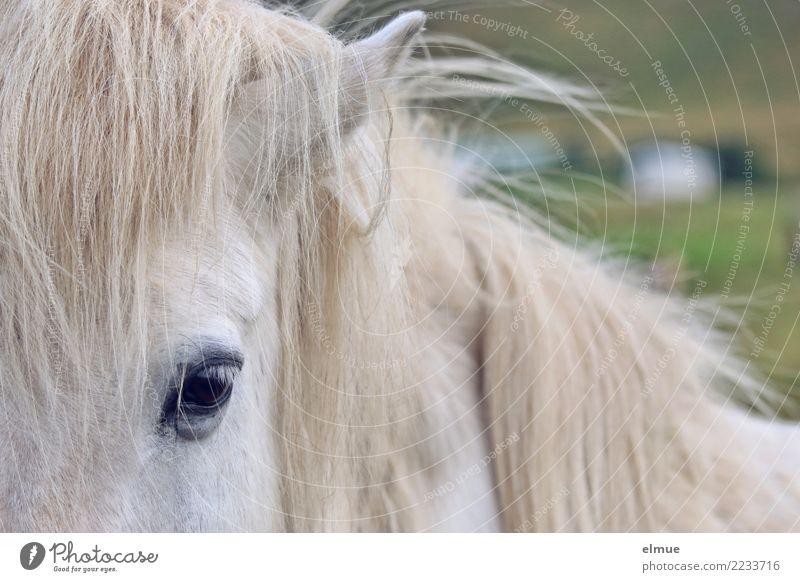 1 PS, mouldy Horse Icelander Iceland Pony Gray (horse) Mane Eyes Coat color Pelt Observe Communicate Looking Esthetic Elegant Near Curiosity White Contentment