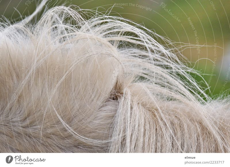 1 PS, verwuselt White-haired Horse Pelt Iceland Pony Mane Gray (horse) rosy-haired Authentic Hip & trendy Beautiful Uniqueness Natural Clean Love of animals