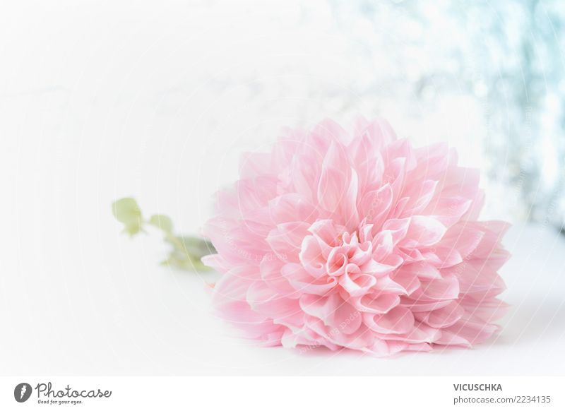 Nature Plant Beautiful Flower Leaf Blossom Love Background picture Style Feasts & Celebrations Pink Design Decoration Birthday Gift Soft