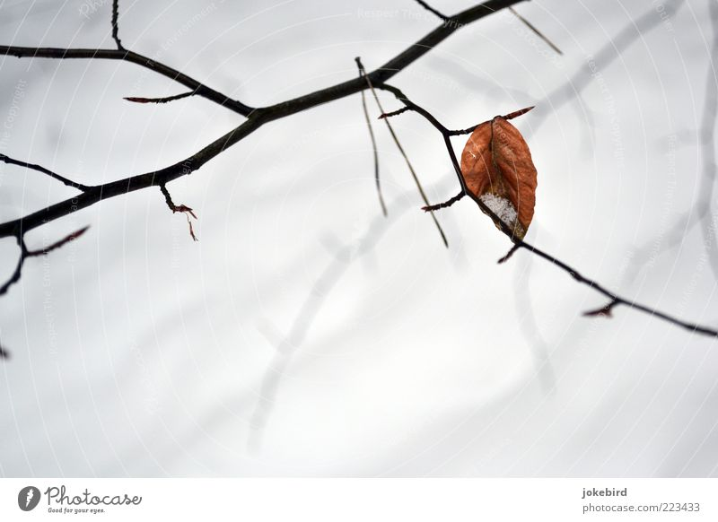 White Leaf Winter Simple Individual Twig Autumn leaves Remainder Isolated (Position) Sparse Autumnal colours To hibernate Beech leaf Bright background
